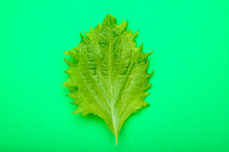 potherb: isolated shiso leaf with green background