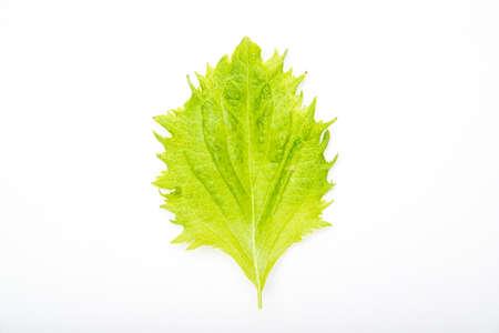 potherb: shiso leaf