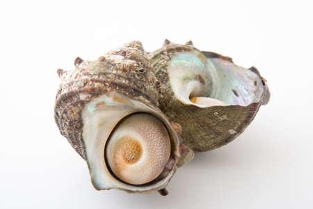 almeja: turban shell