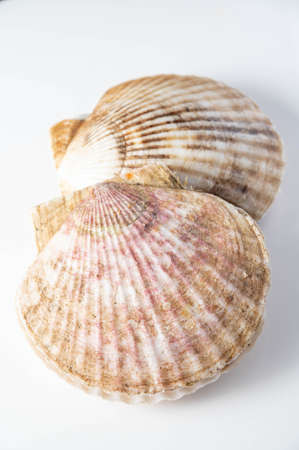 isolated scallops on white background