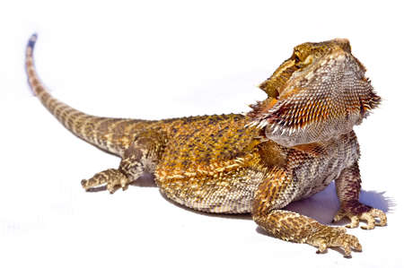 cold blooded: A bearded dragon suns himself Stock Photo