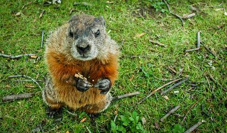 grumpy: Een grond hog benaderingen voor pinda's Stockfoto