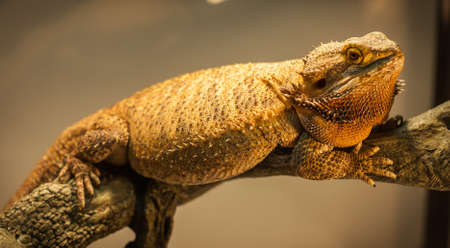 bearded dragon: A bearded dragon warms himself close to his warming lamp. Stock Photo