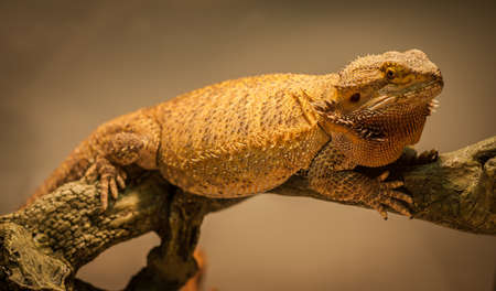 A bearded dragon warms himself close to his warming lamp. Stok Fotoğraf