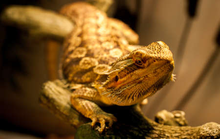 A bearded dragon stares at the camera as his photo is taken while warming under his lamp.