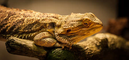 warms: A bearded dragon warms himself close to his warming lamp. Stock Photo