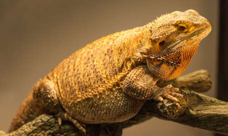 bearded dragon: A bearded dragon stares at the camera as his photo is taken while warming under his lamp.