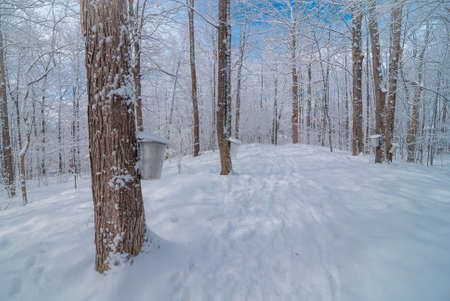 deep freeze: Buckets in a maple woods in March, getting ready  to collect sap.