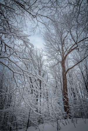 deep freeze: A walk in the wintry maple woods in March. Stock Photo
