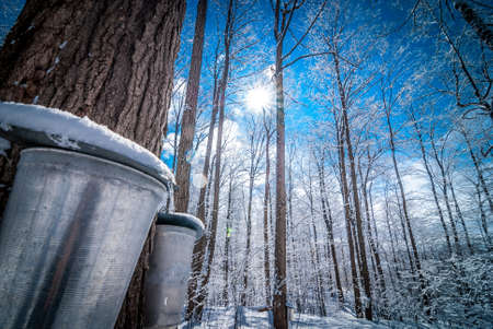 Maple sap buckets wait to be filled in March Sun. Фото со стока - 37920164