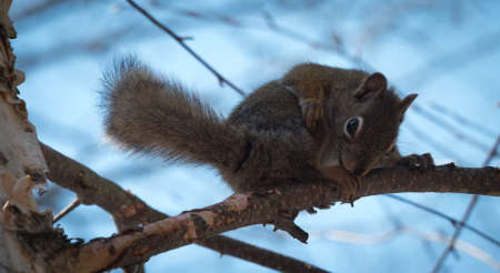 gatherer: Red squirrel where he lives in the woods near a cottage.