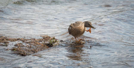 frolicking: A female Mallard duck goes parading looking for a mate along the shoreline. Stock Photo
