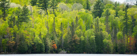 newness: Greening of the forests. Young trees and their leaves bursting with the newness of midspring offer up a contrasting array of greens. Stock Photo
