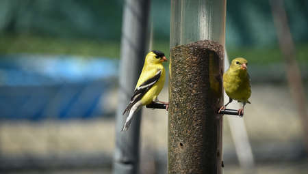 courting: Yellow birds of spring American goldfinches. Stock Photo