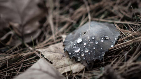 perishable: Luminescent drops of water sit on a fallen leaf in autumn.