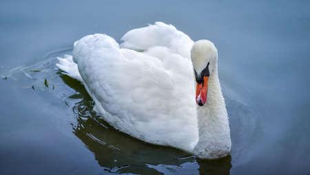 close ups: Mute swan Cygnus olor.  Close ups in his pond. Stock Photo