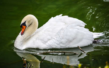 mute swan: Mute swan Cygnus olor.  Close ups in his pond. Stock Photo
