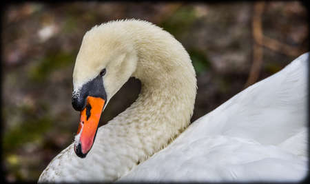 web footed: Mute swan Cygnus olor.  Close ups in his pond. Stock Photo