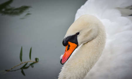 bird web footed: Mute swan Cygnus olor.  Close ups in his pond. Stock Photo