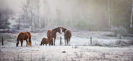 finds: Four horses with no men.  A frosty November morning finds four horses in a corral welcoming the early sunrise Stock Photo