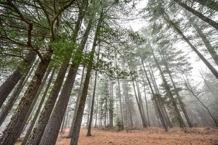fog forest: Tall pines and spruce on a foggy autumn November morning surrounded in fog.