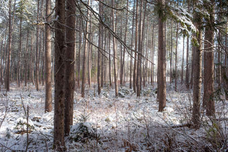 boughs: Peering through a forest of pines.  Bright frosty winter morning amongst tall pines in a forest.  Branches and boughs draped frozen in snow.