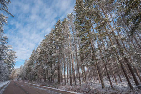 Snow covered pines, beautiful forests along rural roads.  Frosty winter morning, fresh fallen snow.