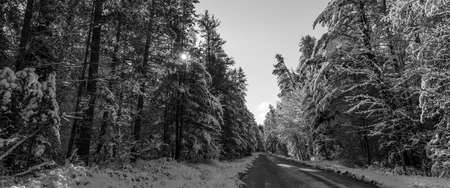 shadowed: Snow covered pines and sun piercing through shadowed forests along rural roads.  Sunny winter morning tall pine forests covered in fresh fallen snow.