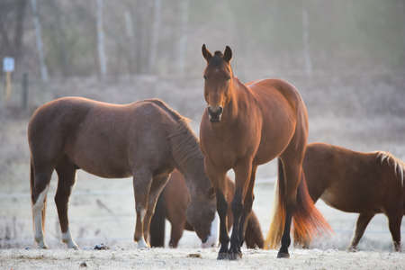 stallions: Four Horses - mares and stallions in their corral.  A frosty November morning finds curious horses in a corral , looking at the camera, grazing, relaxing and welcoming the early sunrise.