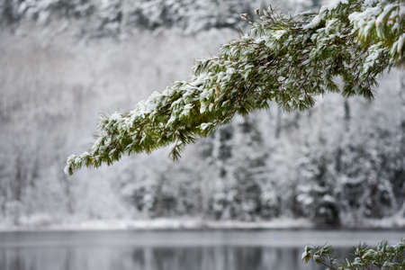 subdued: Winter Mirage on the lake.  Green spruce bough in snow, still waters reflect forests.  Light dusting of snow under subdued November light.   Waterfront forest de-focused in background.