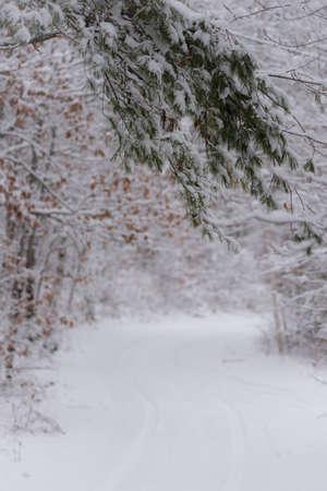 evergreen branch: Naturaleza fondo cubierto de nieve rama perenne blanco.