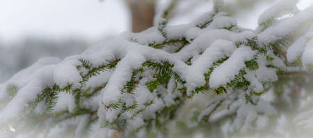 bough: Winter arrives gingerly.  Light dusting of snow, nature winter background, Christmas, evergreen pine tree bough. Stock Photo