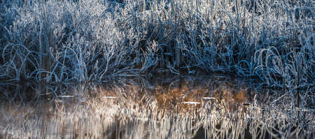 bluegrass: Dawn.  Ice and frost covered wetland foliage.  Cool Bluegrass bushes.   Frost encrusted marsh reeds and foliage emit a cool blue light in the shade of nearby trees.