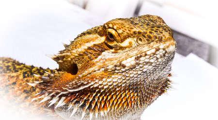 sunning: Pet German Giant Bearded Dragon, sunning outdoors, close up detail of head. Stock Photo