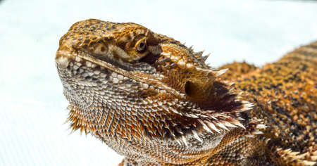 bearded dragon lizard: Pet German Giant Bearded Dragon, sunning outdoors, close up detail of head. Stock Photo