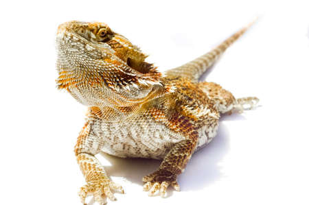 blooded: Im so handsome - Pet German Giant Bearded Dragon, isolated sunning outdoors. Stock Photo