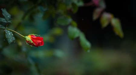 gotas de agua: p�talos emergentes de una peque�a rosa roja adornados con las gotas de agua de lluvia suave primavera. Tel�n de fondo verde primavera. Foto de archivo