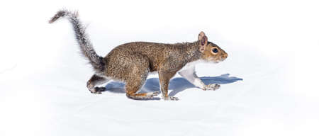 cautious: Squirrel walks like a bear on white background. A cautious gait, a North American squirrel walks like a bear - high contrast white backdrop.
