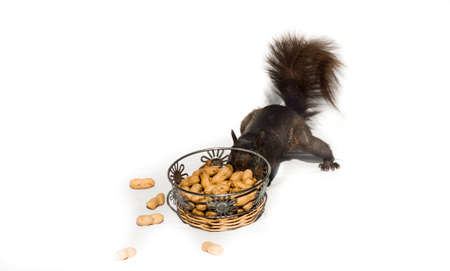 Squirrel tries the hard way on bright white background, high contrast.  Common North American Grey, sneaks up on a pile of peanuts, tries to extract from under the bar. Stock Photo