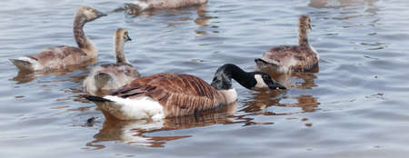 guarded: Canada Goose - Female with her clutch swimming on Ottawa River.  A Canada Goose cranes her neck for a drink as she swims past with her brood in tow.