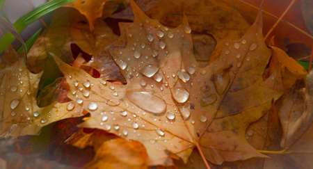 Drops of rain water on fallen autumn maple leaves.  Colorful maple leaves with glowing drops of rain water lay in autumn woods. Ottawa.  Ontario, Canada. Stock Photo