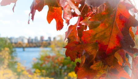 Red oak leaf foreground, city of Ottawa blurred background.  Oak leaf in autumn on side in foreground, blurred city of Ottawa in background.  Ontario, Canada. Фото со стока