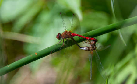 animal sex: Mating pair of Meadowhawk Sympetrum vicinum dragonflies on a plant stem.  colorful insect animals. Cherry-red abdomen is a conspicuous feature. Editorial