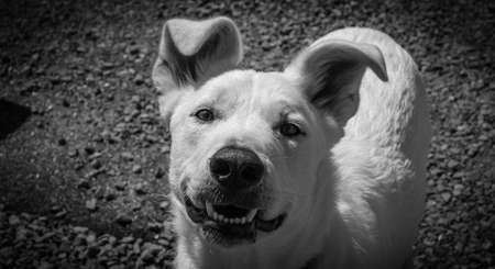 Funny smiling white dog looking at camera, grin on his snout.  Ears up. Imagens