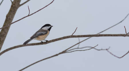anticipating: Springtime comes, Black cap chickadee, Poecile atricapillus, on a branch on a very early, grey spring day in early March.  Happy that the day is mild and anticipating the arrival of spring.