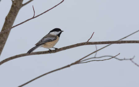 chickadee: Springtime comes, Black cap chickadee, Poecile atricapillus, on a branch on a very early, grey spring day in early March.  Happy that the day is mild and anticipating the arrival of spring.