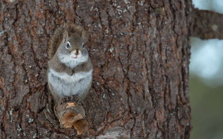 endearing: Endearing, springtime Red squirrel, close up,  Sitting up on a broken branch stump on a Northern Ontario pine tree, paws tucked to chest.