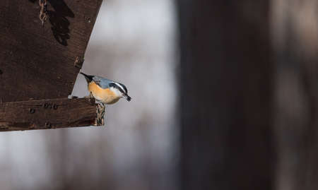 frantic: Red Breasted nuthatch (Sitta canadensis) in springtime competing for space and sunflower seeds at a feeder in a woodland area of Northern Ontario. Stock Photo