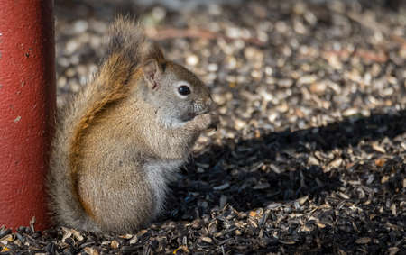 sitting on the ground: Cute, hungry Red squirrel, close up, perched on sitting up on the ground eating sunflower seeds in Northern Ontario.