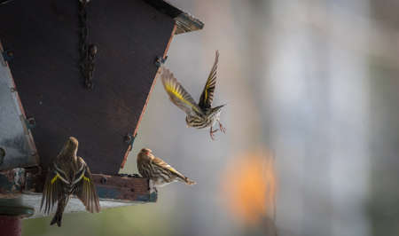 duelling: Pine Siskin finches (Carduelis pinus) - in spring competing for space and food at a feeder in a woodland area of Northern Ontario, take to the air in a scuffle that is over in three seconds. Stock Photo